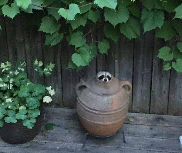 A large earthenware vase sits on a patio, with a raccoon's head just popping out of it