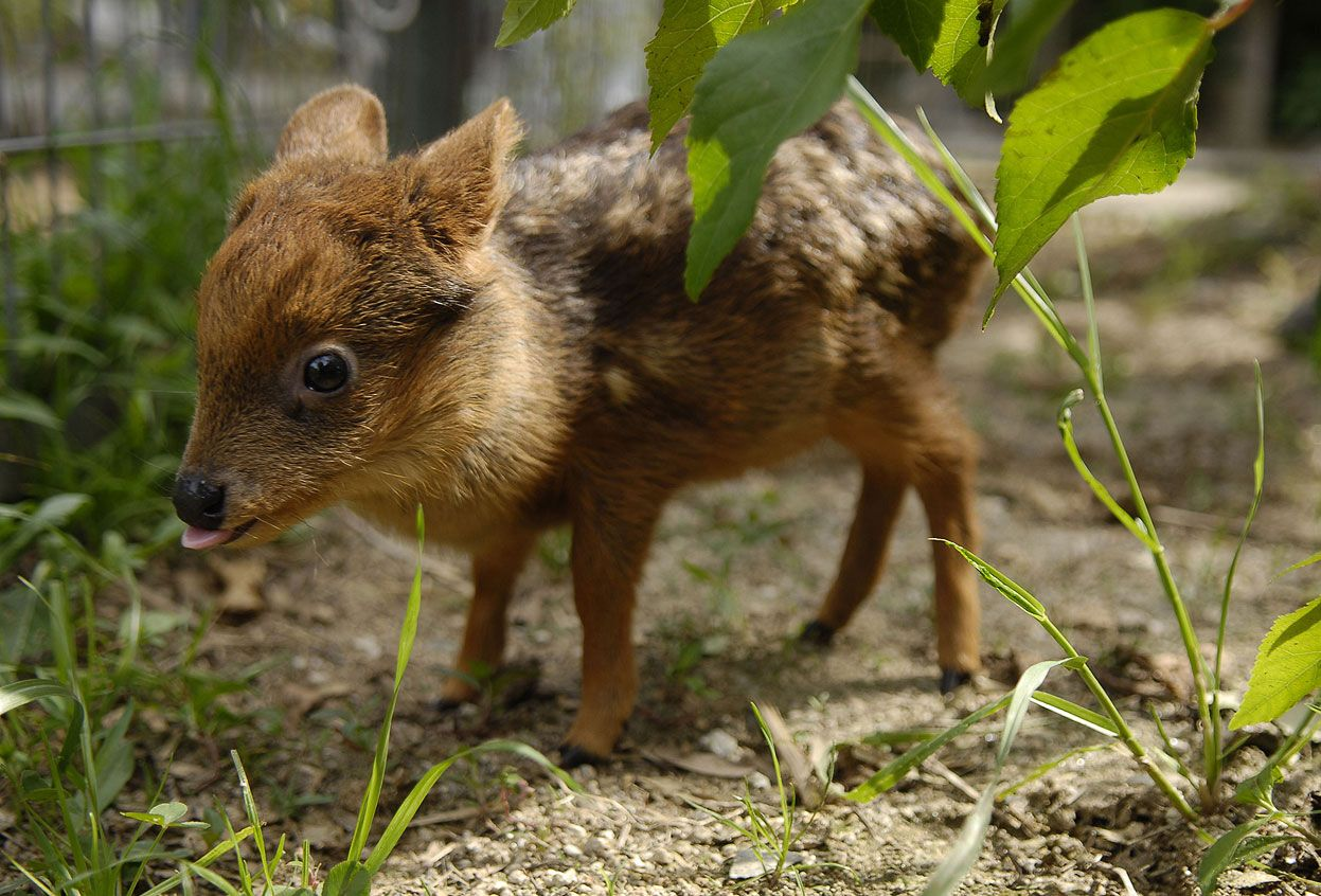 A newborn Chinese water deer sticking its tongue out