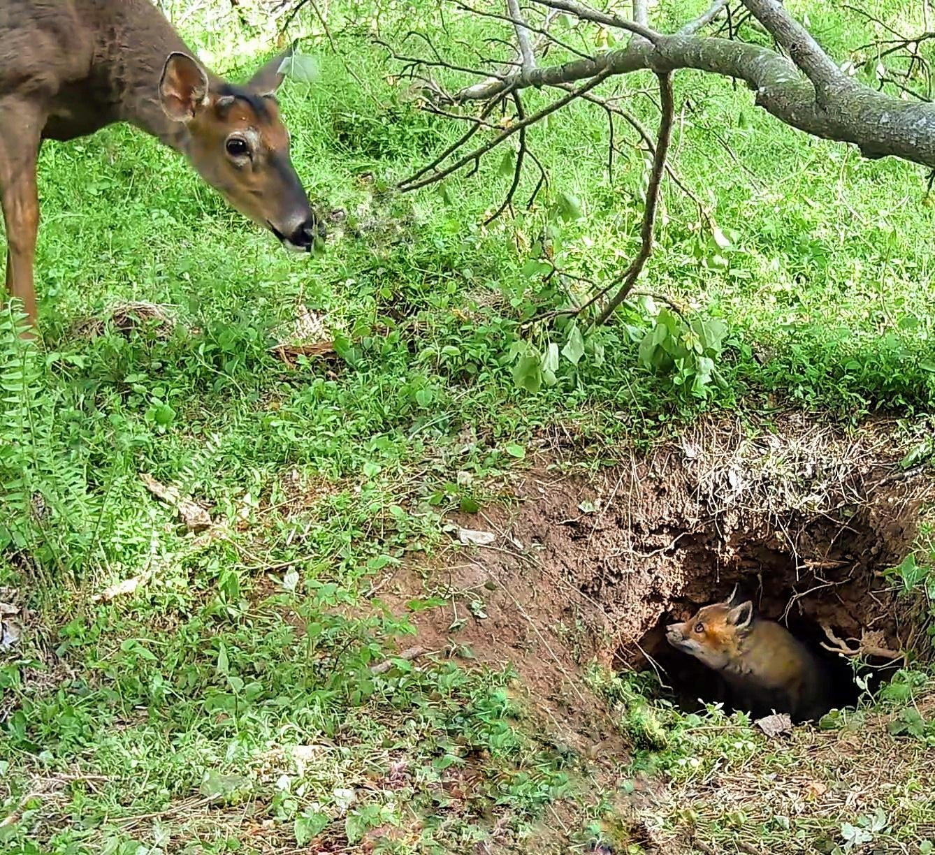 A confused deer is looking down at a fox in a burrow, who's looking back at the deer